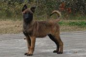 馬蓮萊幼犬出售