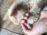 羊毛貓 Serkirk Rex