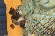 蝴蝶犬 三個月大 全包