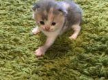 British Short Kitten