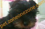 (已過期) Yorkshire Terrier 約瑟爹利 BB 領養 (男)