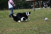 純種澳洲牧羊犬