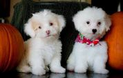 Two cute poodles