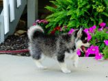 Pomsky Puppies Avail